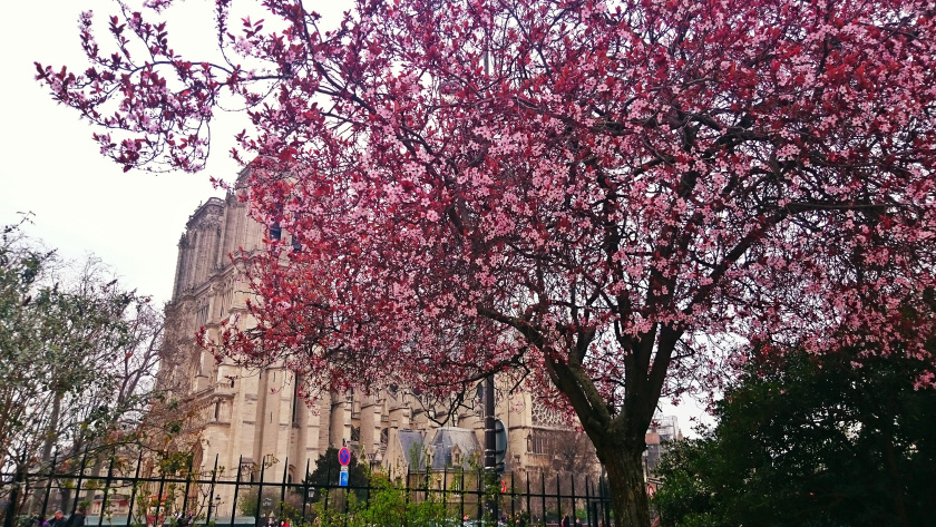 Notre-Dame Blossom, Spring in Paris
