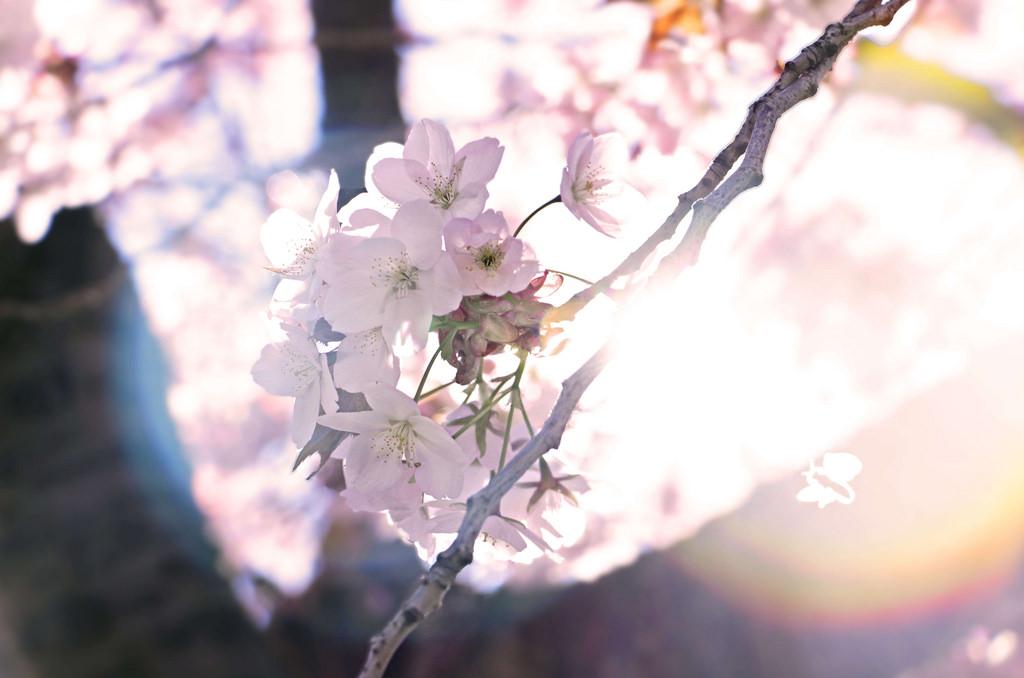 Paris Blossom, Spring