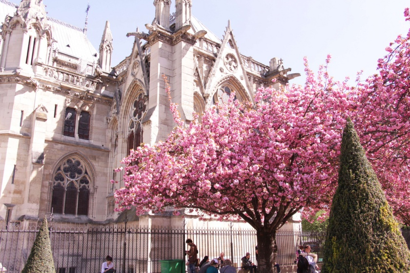 Notre-Dame Cathedral and Cherry blossom, Paris in Spring