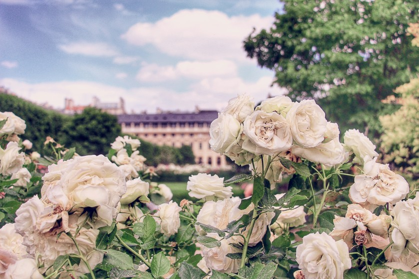 Roses in Blossom in Palais Royale Jardin, Paris