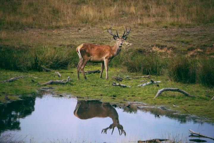 The magnificent Deer of Richmond Park, London
